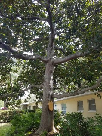 Magnolia cut 1