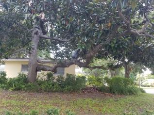 Magnolia limb