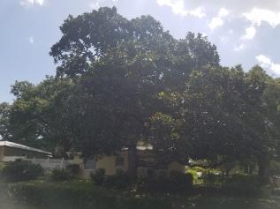 Magnolia whole